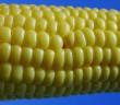 Long-term analysis of corn